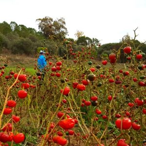 Tandem Bike Tour of Sardinia - Red Peppers